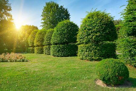 Hedges and ornamental shrub in a summer park. Bright Sunrise in the blue sky Stock Photo