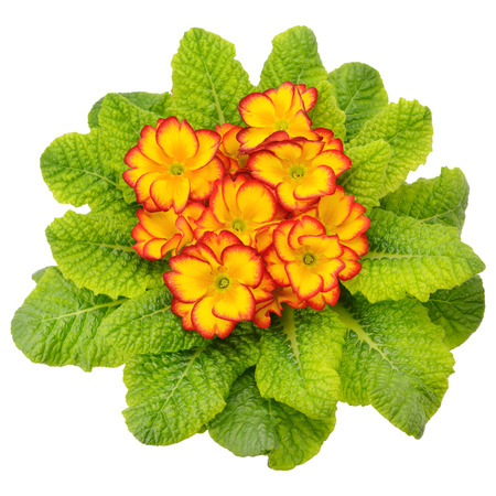 primula with bright flowers isolated on white background