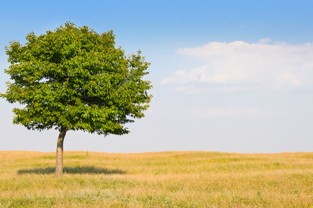 vacant land: deciduous tree in the meadow and blue sky