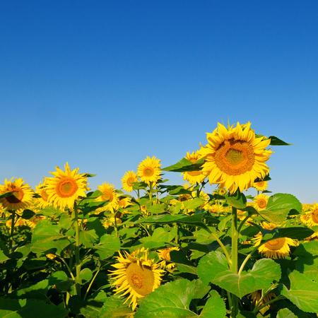 sunflower seeds: Sunflower flower against the blue sky and a blossoming field