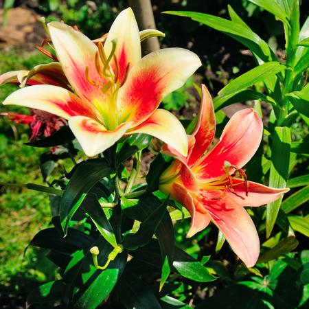 Elegant lily flowers in the summer garden