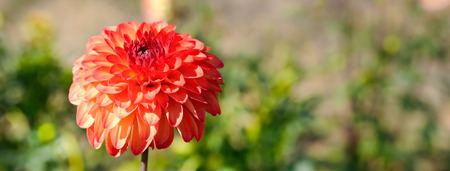 Dahlia on a background of flowerbeds. Focus on a flower. Shallow depth of field