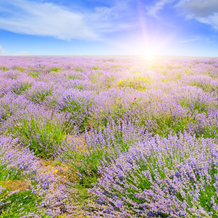 Field with blooming lavender and sunrise Imagens