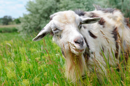 A domestic goats grazing on pasture Stock Photo