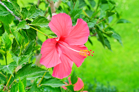 Red hibiscus flower on a green background. In the tropical garden.