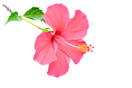 Red hibiscus flower isolated on white background. Free space for text.