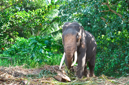 Elephant in the wild . Rainy weather. Country Of Sri Lanka Фото со стока