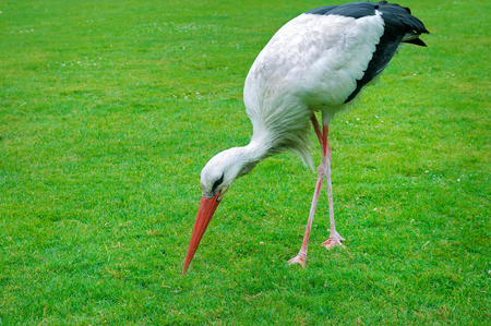 Stork on a background of green meadow. A bright sunny day.