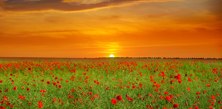 Field with poppies and sunrise. Agricultural landscape. Wide photo. Stock fotó