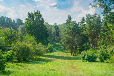 Natural forest with coniferous and deciduous trees, meadow and footpaths. Summer. A bright sunny day.