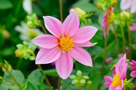 Dahlia on background of flowerbeds. Focus on flower. Shallow depth of field. Stock Photo