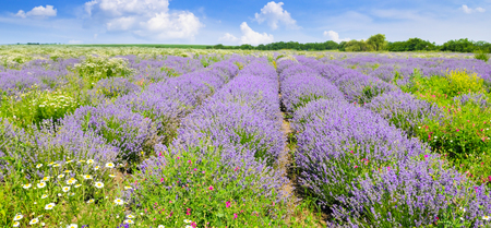 Blooming lavender in a field on a background of blue sky. Shallow depth of field. Focus on the foreground. Agricultural landscape. Wide photo. Imagens