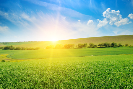 Green pea field and sunrise in the blue sky. Spring agricultural landscape. Stock Photo