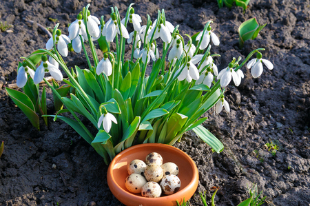 Snow-white snowdrops and quail eggs on a spring background. Easter composition.