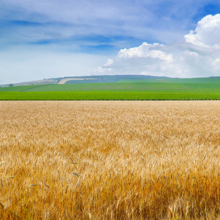 Wheat field and blue sky with light cumulus clouds