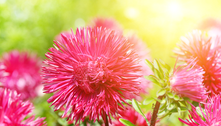 Flowerbed of multi-colored asters and sun. Focus on a red flower. Wide photo