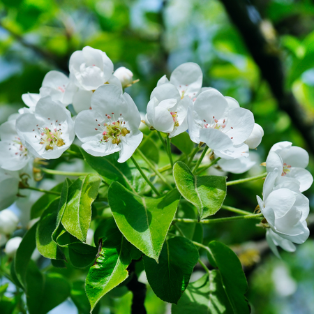 Flowering branch of pear blooming spring garden. Flowers pears close-up. April. Фото со стока