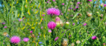 Pink milk thistle flower in bloom in summer morning. Medical plants. Wide photo .