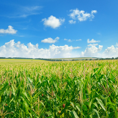 Bright green cornfield and blue sky with light cumulus clouds. Agricultural landscape.
