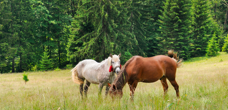 A pair of beautiful horses are grazing in a forest meadow. Summer sunny day. Wide photo.