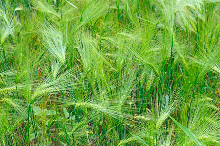 Bright background of wheat ears. Summer day. Stok Fotoğraf
