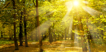 Autumn park and the sunset. The sun rays illuminate Yellow leaves of trees. Stock Photo