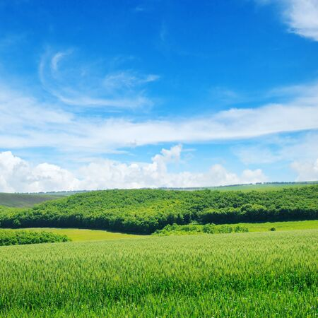 Green field and blue sky with light clouds. Agricultural landscape.