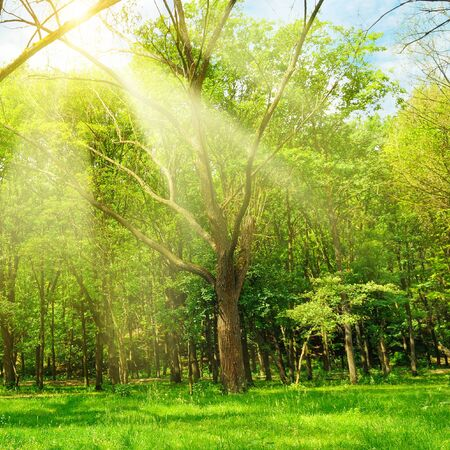Bright sunny day in Spring forest. The sun rays illuminate green grass and trees.