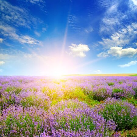 Field with blooming lavender and sunrise Archivio Fotografico