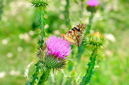 Beautiful butterfly on a pink milk thistle flower. 免版税图像