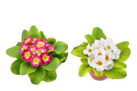 Primroses with bright flowers isolated on white background. Free space for text. Stock Photo