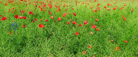 Bright scarlet poppies on the background of green rapeseed. Wide photo.