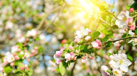 Flowers of apple tree in the rays of a bright sun. Shallow depth of field.
