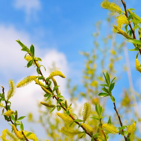 Willow twigs on blue sky background. Easter and spring concept. Stock fotó