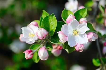 Apple tree with beautiful spring flowers on a natural background.