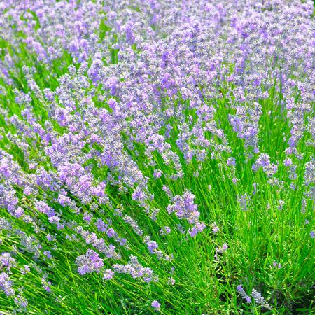 Bush of blossoming lavender in the summer field.