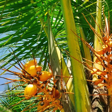 Coconuts on a background of palm leaf.