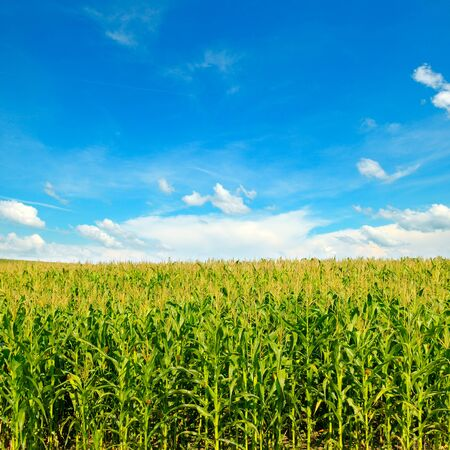 Green corn field and bright blue sky. Agricultural landscape. 스톡 콘텐츠