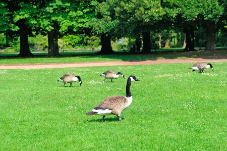 Gray geese on a green meadow in a city park.