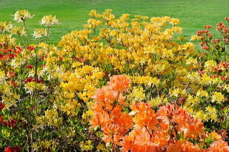 Rhododendron flowers in a city park in spring. Beautiful bright background.