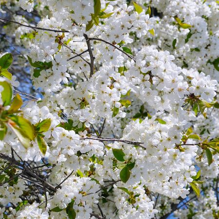 Beautiful blossoming tree branch. Cherry - Sakura and sky with a natural colored background.