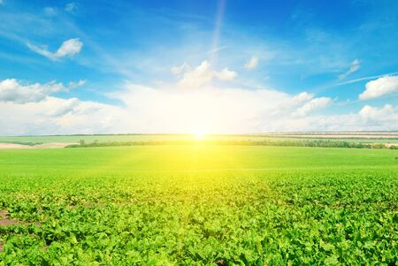 Green beet field and sun on blue sky. Agricultural landscape.