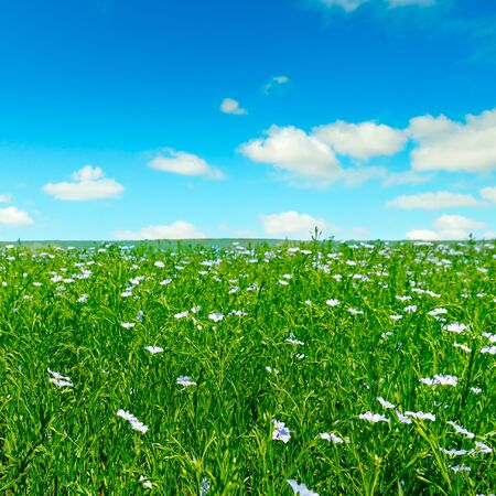 Fields with flowering flax and blue sky. Spring agricultural landscape.