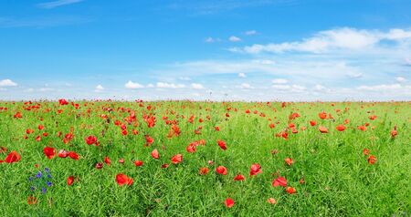 Bright scarlet poppies on the background of green rapeseed and blue sky. Wide photo. 스톡 콘텐츠