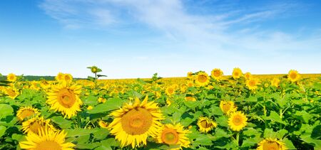 Sunflower flower against the blue sky and a blossoming field. Agricultural landscape. Wide photo.