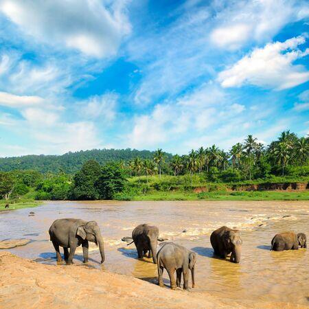Herd of elephants bathing in the jungle river of Sri Lanka.