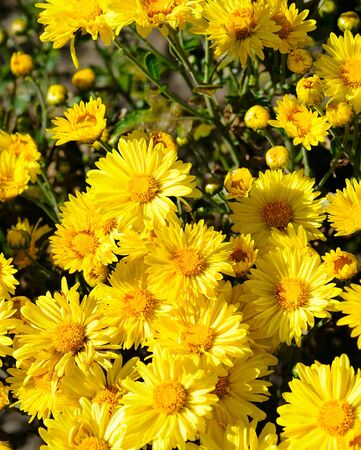Bright background of blooming chrysanthemums in the flowerbed.