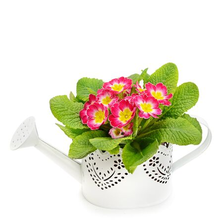 Primrose in decorative watering can isolated on white background. There is free space for your text.
