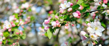 Flowers of an apple tree. Shallow depth of field. Focus on the front flowers. Wide photo. 스톡 콘텐츠