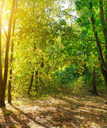 Warm autumn scenery in a forest, with the sun casting beautiful rays of light through the trees